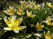 Tarda – Tulpe 7