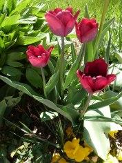 Tulpen 22