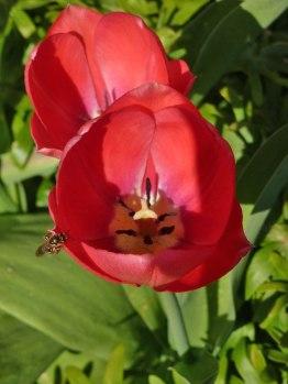 Tulpen 25