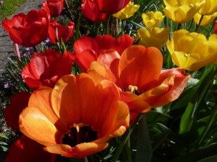 Tulpen 33