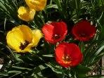 Tulpen 38