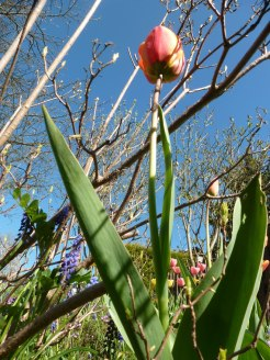 Tulpen 41