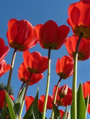 Tulpen 45