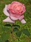 Rosa Rose 11