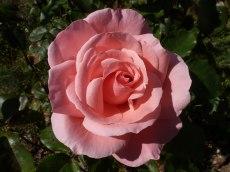Rosa Rose 3