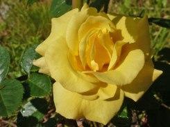 Rose – Regentropfen 14