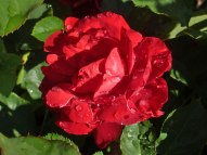 Rose – Regentropfen 3