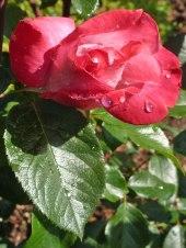 Rose – Regentropfen 6