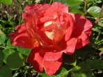 Rose – Regentropfen 7