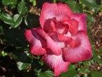 Rose – Regentropfen 8