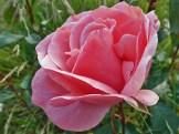 Rosenblüte 6