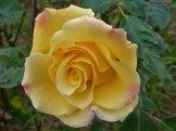 2014_06_22_Rose_1