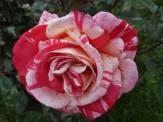 2014_06_26_Rose_5