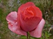 2014_07_27_Rose_10
