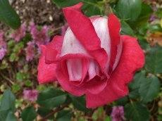 2014_07_27_Rose_6