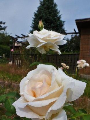 2014_07_27_Rose_9
