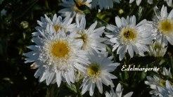 2014_07_20_Edelmargerite