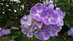 2014_08_20_Phlox