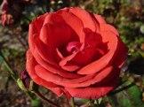 2014_09_28_Rose_4