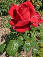 2015_07_04_Rosen_9