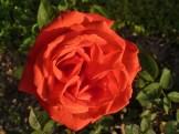 2015_07_05_Rose_4