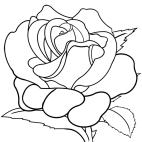 Rosenzeichnung