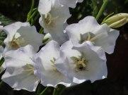 Weisse Glockenblumen 4