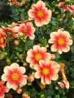 Dahlienblüten 4