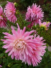 Dahlienblüten 7