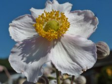 Herbst – Anemone 2