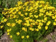 Maedchenauge – Coreopsis verticillata
