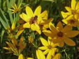 Maedchenauge – Coreopsis verticillata 8