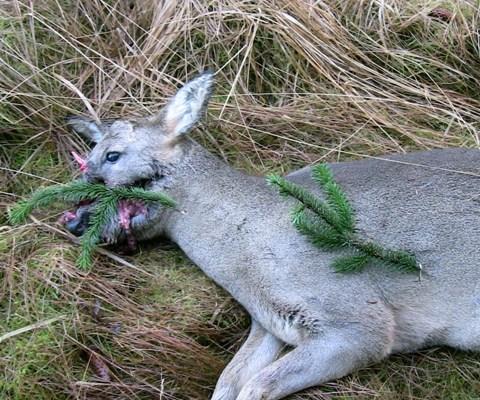 Head shot roe deer