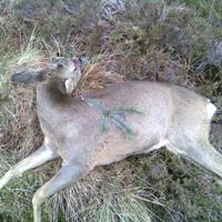 Poor head shoot roe deer