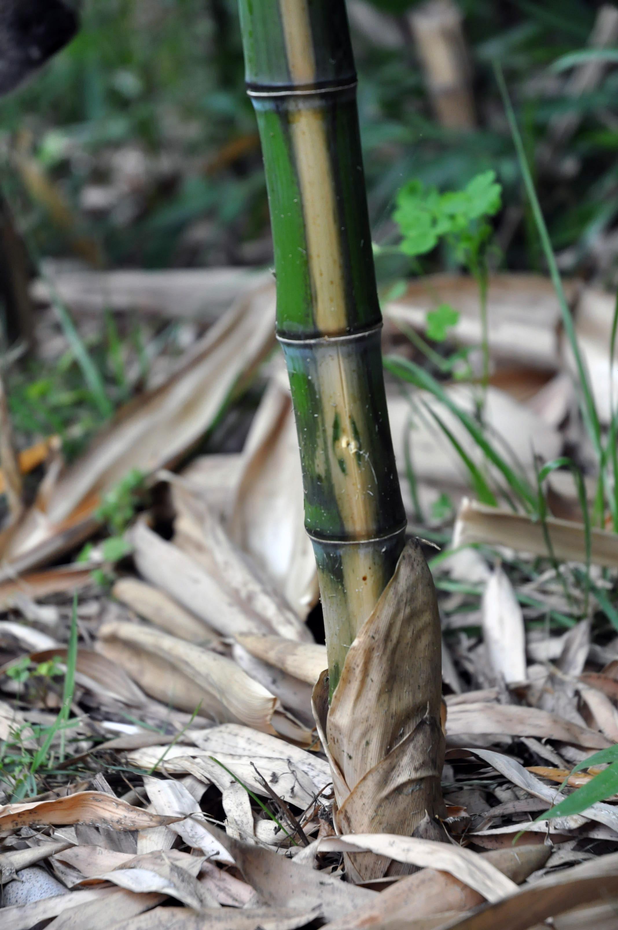 bamboo after Roundup