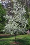 Crabapple tree blooming in April