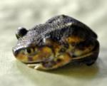 Scaphiopus holbrookii