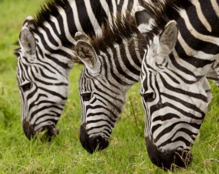 Zebras Eating