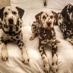 Dalmatians-Hawthorne-Hotel-Salem-dog-friendly