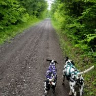 Dalmatians-Randoms-Travels-explore-trails-of-Hastings-County