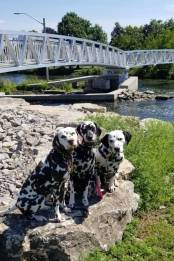 Dalmatians of Randoms Travels - enjoying hiking adventures in Smiths Falls
