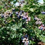 Blueberries-TnT-Berries
