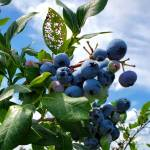 Juicy-blueberries-TnT-Berries