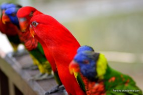 Rainbow lorikeets & Red lory