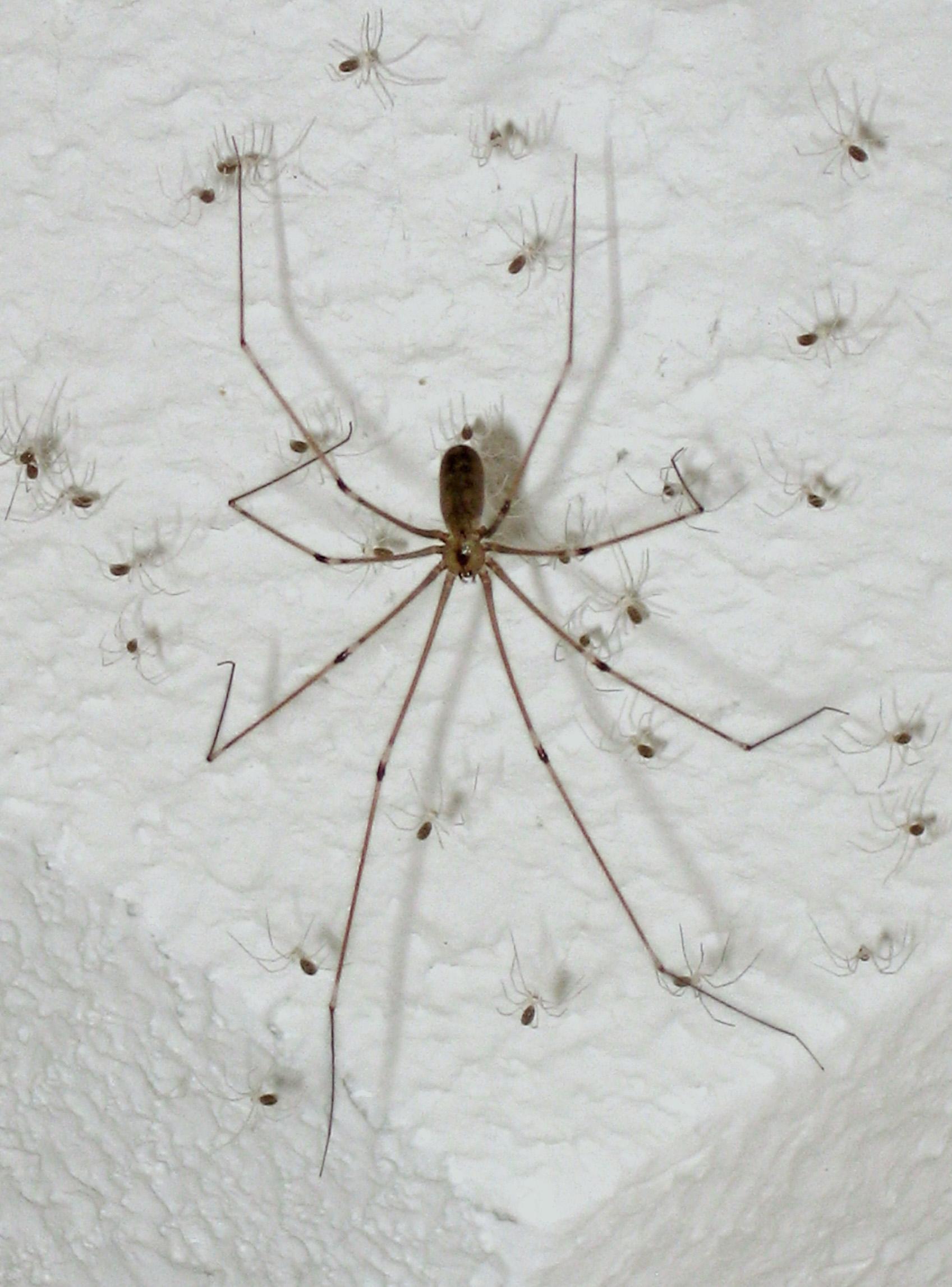 Pholcus Phalangioides Insecte Benefice Sau O Problema