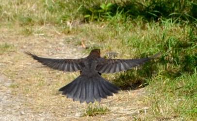 Young blackbird doin' the buggerin' off.