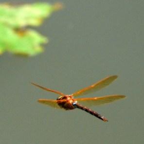 … Dragonfly …