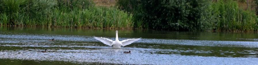Swan in a flap