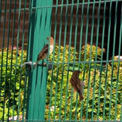 Sparrows on the fence.