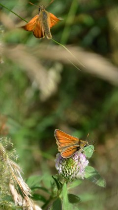 Skipper on clover and  buggerin' off